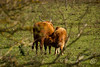 _MG_3304.jpg (WHaselbarg) Tags: nature animals wildlife nederland thenetherlands natuur dieren flevoland wildanimals oostvaardersplassen wildedieren heckrunderen wildcows wildekoeien workshopvanstevenruiter