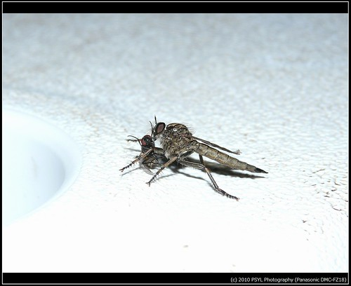 Unidentified Robber Fly species (Family Asilidae) with prey