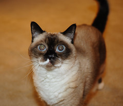 wide-eyed kitteh (Park Doc) Tags: portrait pet macro cute cat 35mm furry nikon friend funny dof flash kitty fluffy indoor tokina kitteh pro curious wideeyed atx m35 bounced d90 sb400