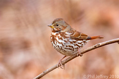 Fox Sparrow (phil.jeffrey) Tags: nyc bird nature centralpark wildlife avian ramble foxsparrow passerellailiaca wwwcatharuscom