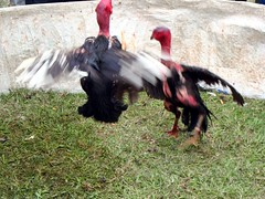 Cockfighting, Gia Lm, Hanoi (vnkht) Tags: fauna sony cock vietnam rooster fighting hanoi 2010 cockerel cockfighting vitnam hni gialam huyn gialm dscw130 gavinkwhite