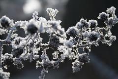 Crystals (Giovane Insubre) Tags: winter snow ice foglie leaf crystals brina neve bianco ghiaccio cristalli