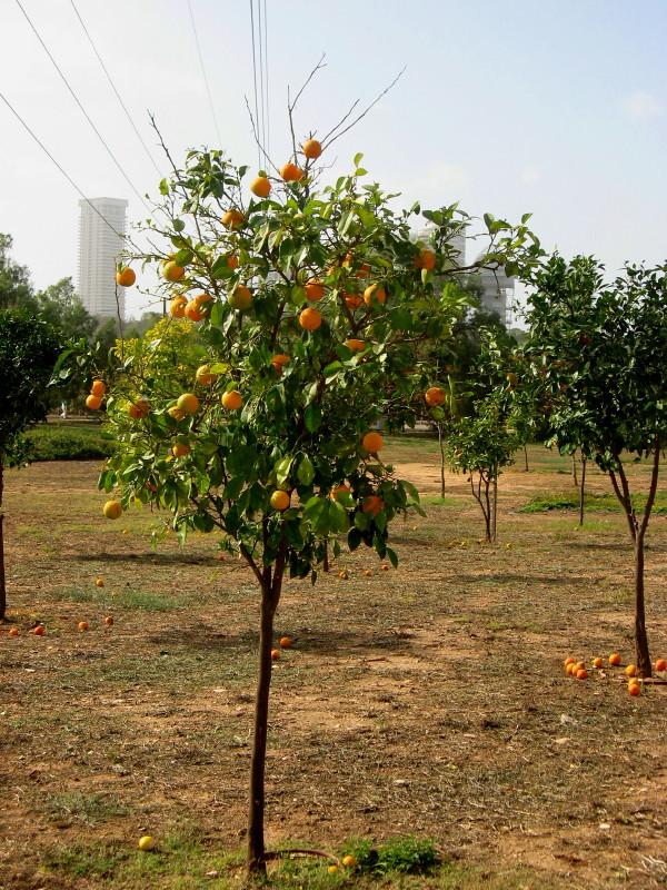 18-12-2010-clementina-field-tree