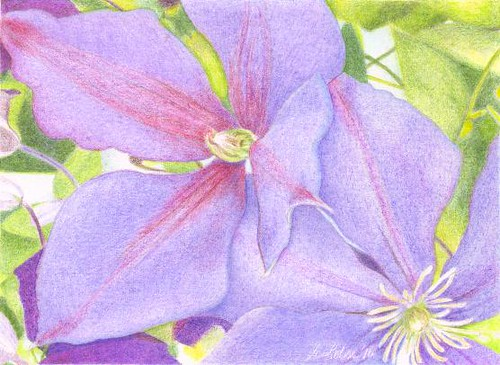 Clematis Jackmanii Superba, colored pencil