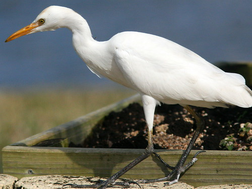 Cattle Egret 20101222