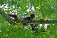 Spider Monkey - Spindelapa (Leif Jnsson) Tags: birds rainforest belize wildlife birding jungle 7d 100400 belizechanchichlodge