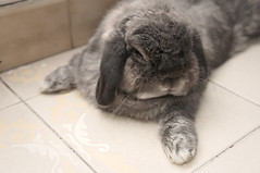 "Andora: ""You may kiss my paw now."" (jade_c) Tags: pet rabbit bunny animal mammal singapore opal  hollandlop andora   lagomorph opalhollandlop"