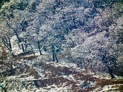 Trees on hillside (Raoul Pop) Tags: trees winter snow grass flickr seasons hills romania transilvania medias googlephotos fujifinepixhs10