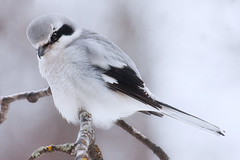 The Last Photo I'll Ever Take (Boreal Photography) Tags: bird nature wildlife boreal shrike
