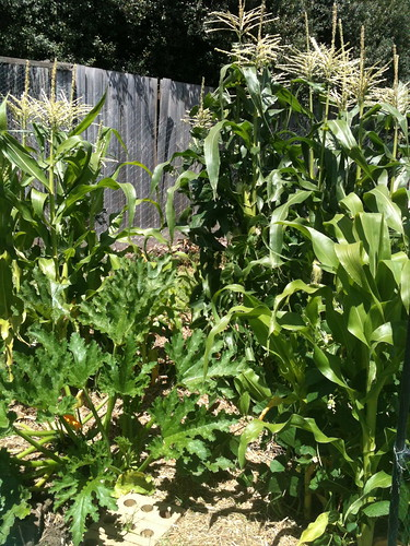 Three sisters garden: beans, corn and zuchini