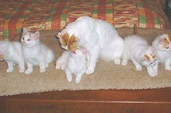 Turkish Van Mother and Kittens by Dan^-.-^Forg, on Flickr
