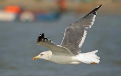 heuglin's gull in flight (Gurusan2010) Tags: birds gulls birdinflight pointcalimere heuglinsgull gullinflight eos400d canoneos400d larusheuglini tamilnadubirds sigma120400