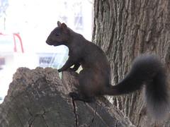Edon black squirrel buddy (birchloki) Tags: yards ohio nature yard squirrel squirrels wildlife edon edonohio