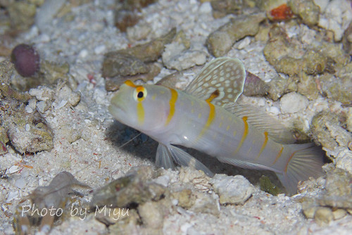 Sail-fin shrimpgoby