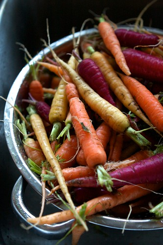Harvesting Winter Carrots