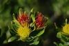 Pincussion (.donelle) Tags: plants mountain southafrica naturereserve kleinmond inthemountain kogelbergbiosphere