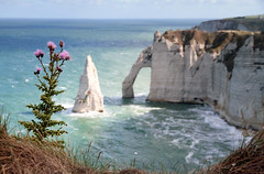 on the cliffs (Youronas) Tags: ocean sea plant france flower coast frankreich meer thistle cliffs coastline gras normandy klippen mormandie