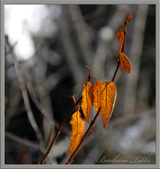 Hold Fast to Your Dreams (misst.shs) Tags: winter nikon dof bokeh northidaho langstonhughes orangeleaves d90 hbw holdfasttoyourdreams