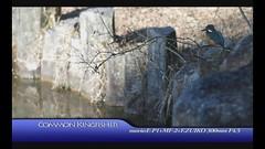 Common Kingfisher (Polotaro) Tags: bird nature pen olympus kingfisher  ep1