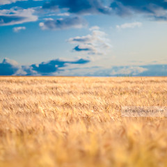 Blue on Gold (PMMPhoto) Tags: blue sky field barley clouds square landscape paul 50mm gold scotland landscapes nikon dof bokeh horizon 14  mcgee nikkor fp northberwick eastlothian 50mmf14g paulmcgee donotusewithoutpriorpermission pmmphoto paulmcgee welcomeuk