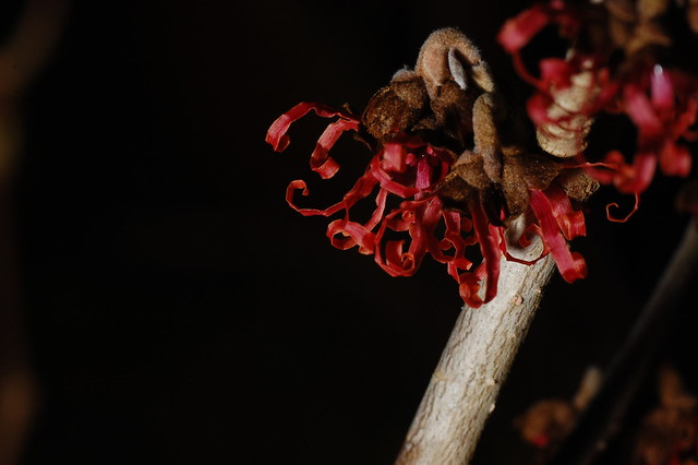 Hamamelis x intermedia 'Diane' in bloom