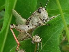 Grasshopper 2 (wsrmatre) Tags: insecto nature insect naturaleza grasshopper saltamontes macro ericlópezcontini ericlopezcontini ericlopezcontinifoto ericlopezcontiniphoto ericlopezcontiniphotography wsrmatre wsrmatrephotography wsrmatrephoto ericlopezcontiniexportareamanager