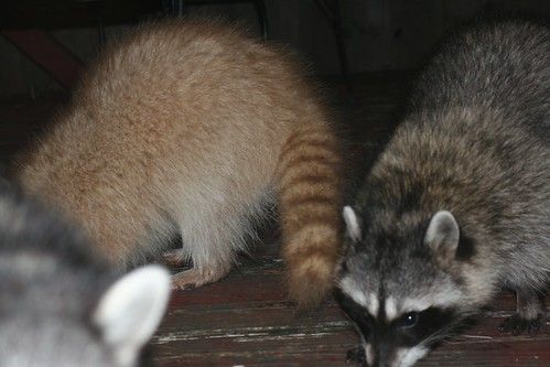 raccoon white ann sevier wc