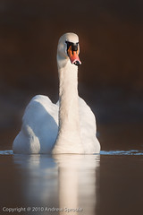 Mute Swan (Cygnus olor) (Andrew Sproule Photography) Tags: uk morning winter wild sunlight reflection cute bird nature water animal digital canon mood wildlife waterbird waterfowl 500mm andrewsproule