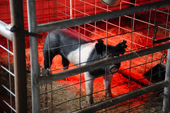 Pig in a pen - Refugio, Texas (peterlfrench) Tags: ranch barn rural pig nikon texas january coastal refugio hog hogpen southtexas pigpen 2011 thirdcoast dsc6764 d700 refugiotexas pfrench99 peterlfrench piginapen