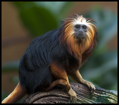 Golden Headed Lion Tamarin (Steve Wilson - classic view please) Tags: uk greatbritain brazil england southamerica nature animal gardens america forest garden mammal gold zoo monkey golden amazon nikon cheshire britain wildlife south great lion conservation chester american jungle tropical endangered d200 captive primate rare headed captivity tamarin upton chesterzoo insectivore zoological omnivore zoologicalgarden zoologicalgardens nikond200 leontopithecus chrysomelas caughall goldenlionheadedtamarin mygearandme mygearandmepremium