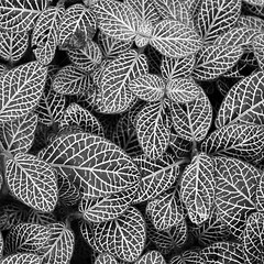B&W Mosaic (Helena Pugsley) Tags: blackandwhite bw plant square leaf mosaic marwell tropicalworld flickrchallengegroup flickrchallengewinner thechallengegame challengegamewinner marwellwildlife