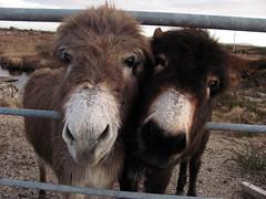 Donkeys in Connemara (little gull) Tags: ireland irish donkey eire connemara lpdouble