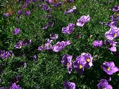 1 in Wind Blown Purple (Mertonian) Tags: forsophia mertonian robertcowlishaw canon powershot g7x mark ii canonpowershotg7xmarkii green purple white wind blossoms flowers lunchwalk wonder ineffable awe beauty