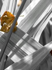 Getting Sunburnt (Steve Taylor (Photography)) Tags: flax brown selectivecolour newzealand nz southisland canterbury christchurch cbd city plant leaf leaves shadow grain texture sunny sunshine