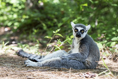pre-election blues (demerson2(away)) Tags: canon 6d canon6d lemur animal animals ef100mm f28l macro is usm