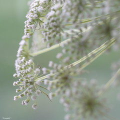 Flower explosion (*Twinkel*'s photostream) Tags: white flower green nature 50mm dof bloem justcropped geenphotoshop opeenvaasjethuis