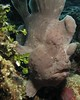 Giant Grey (MerMate) Tags: portrait canon grey underwater philippines diving powershot bohol frogfish g10 wpdc28