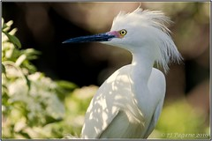 Snowy Egret Portrait (Light Your World Photography) Tags: nature beauty egret snowyegret egrettathula alligatorfarm supershot paulpagano canon40d canonef400f56l