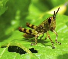 Walking Grasshopper (Alex_v1.1) Tags: macro green nikon grasshopper tamron90mm d90 specinsect flickrchallengegroup macrosdenaturaleza
