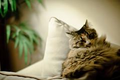 Bella (Jay Cassario) Tags: new color tree green cat 50mm newjersey nikon kitten feline f14 14 longhair nj sigma indoor noflash mainecoon jersey inside sigma50mm d90 cattery nikond90 lightroom3 sigma50mm14