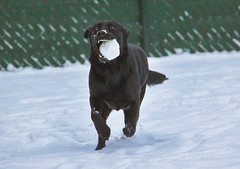 snowball run (sjaradona) Tags: dog snow black animal canon labrador belgium snowball 2010 kangoo cr2 img5226 thebestshot dognationalities