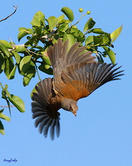 (Species # 419) A Rufous-Backed Robin (tinyfishy) Tags: bird robin mexico flying inflight mazatlan backed rufous code3 rufousbackedrobin estuarydelyugo
