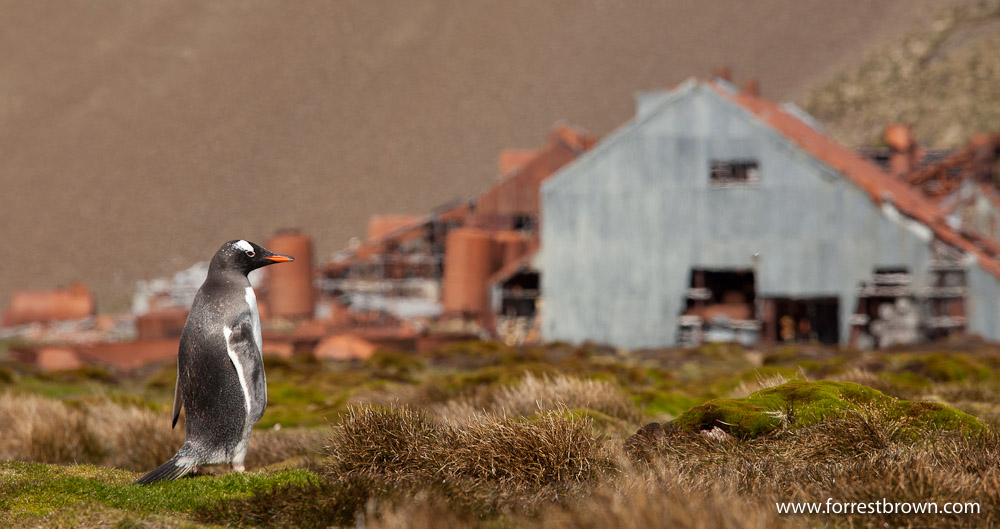 South Georgia, Stromness whaling station, Gentoo Penguin