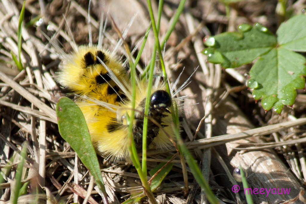 spotted tussock moth  02.jpg
