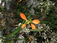 Nochebuena silvestre comn (Euphorbia cyathophora), HOJAS (* Hi Tech Bio *) Tags: flores mxico flor euphorbia santacatarina naranja nochebuena anaranjado lahuasteca euphorbiaceae nuevolen euphorbiacyathophora poinsettiacyathophora