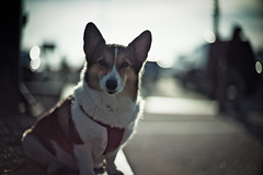 in the morning sunlight (moaan) Tags: leica trip morning travel light dog sunlight backlight digital 50mm corgi dof bokeh f10 utata noctilux welshcorgi vigil 2010 intothesun m9 pochiko leicanoctilux50mmf10 onthewaytotokyo situpallnight leicam9 sa gettyimagesjapanq1 gettyimagesjapanq2