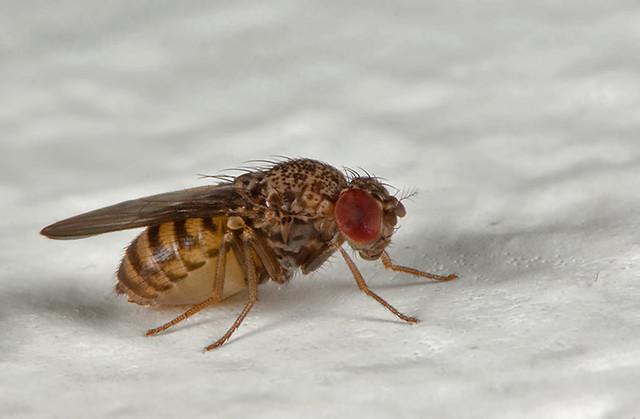 drosophila 1