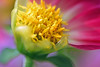 *heart of a dahlia* (sasithorn_s) Tags: pink dahlia friends plant flower macro nature garden kartpostal mywinners overtheexcellence theperfectphotographer