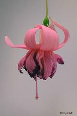 Fuchsia 'Du Barry' (pennyeast) Tags: flower botanical fuchsia capetown papaalphaecho