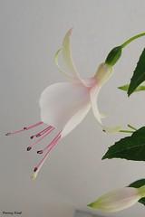 Fuchsia 'Norman Welton' (pennyeast) Tags: flower botanical fuchsia capetown papaalphaecho